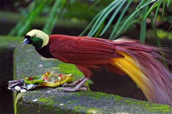 Burung Paradisaea Apoda