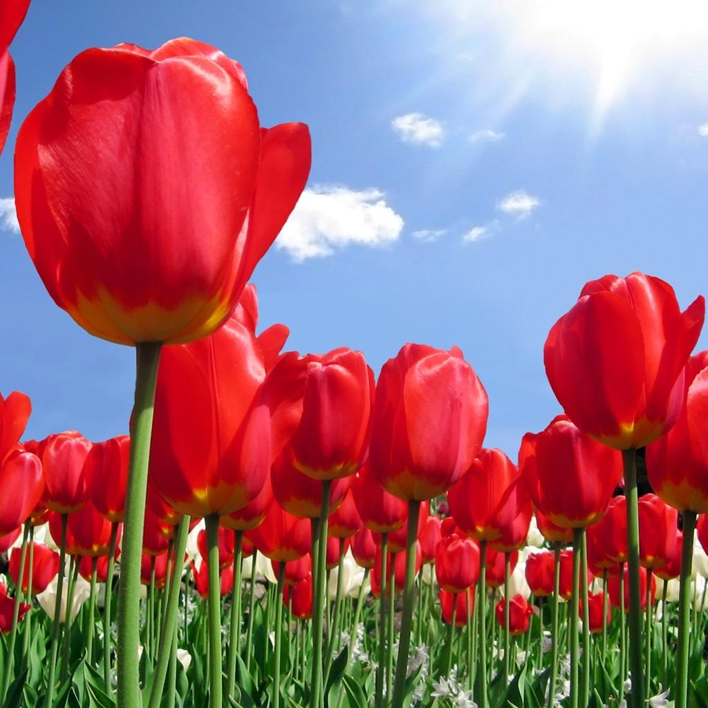 Tulip Wallpaper: Skagit Valley Tulip Festival