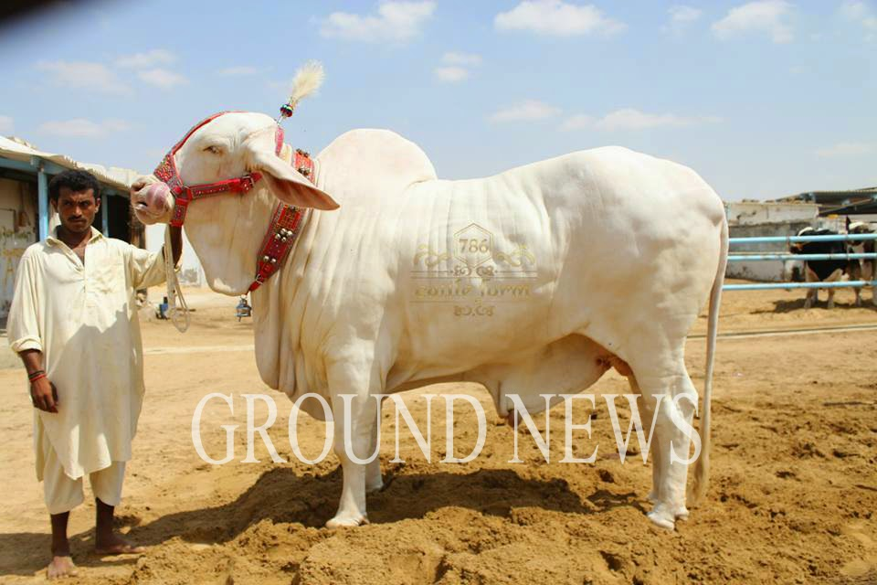 Sohrab Goth Gai Cow Mandi 2014 2013 New Pictures For Eid | Review