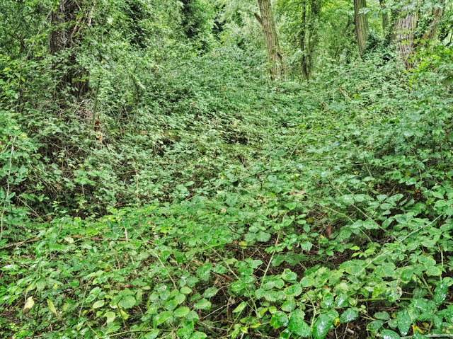 Ground beneath trees completely covered by brambles