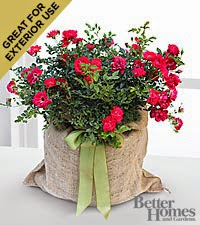 The FTD  Outside Interests Red Rose Plant by Better Homes and Gardens