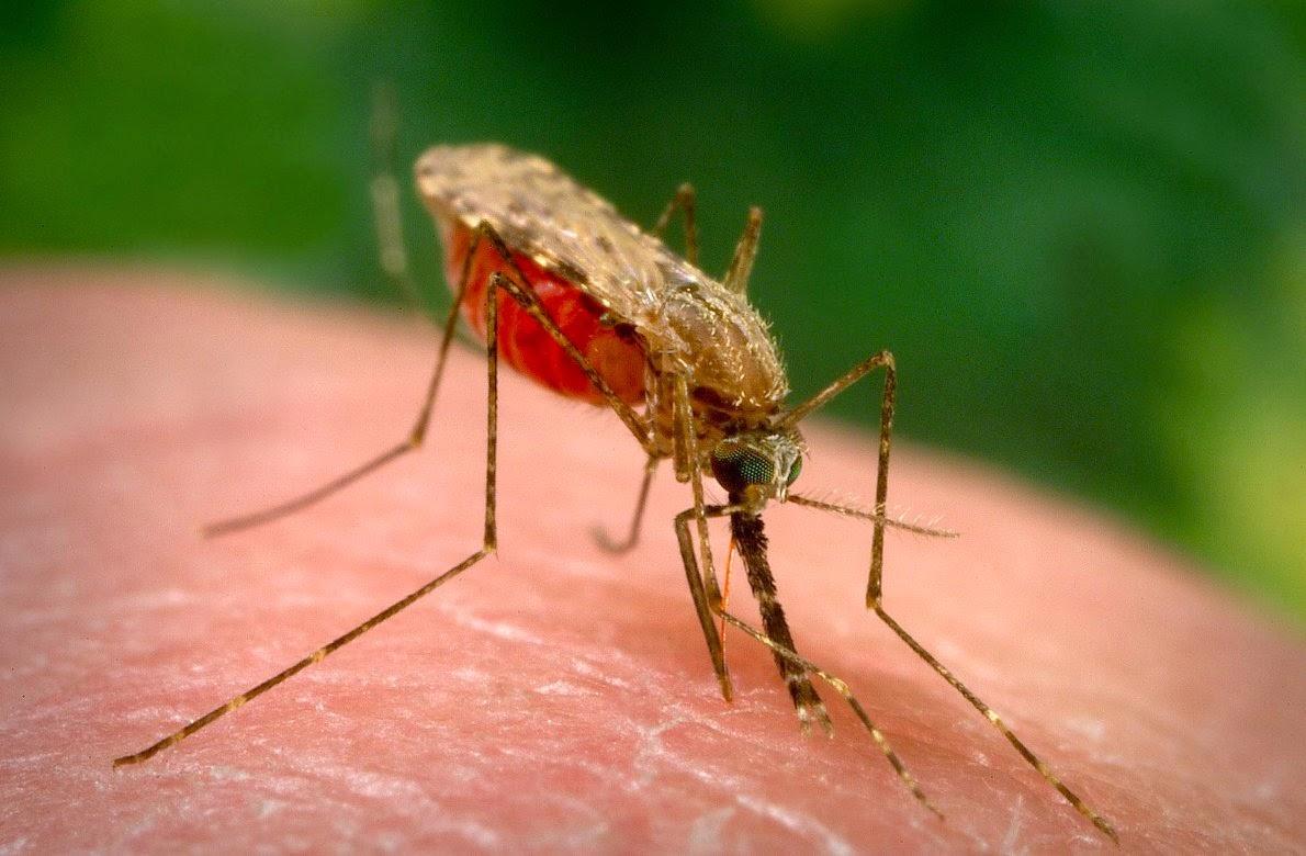 Muổi truyền bệnh sốt rét cho con người.