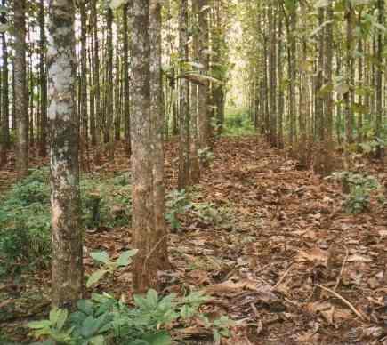 diversidad de arboles maderables en panama por imalay chanis