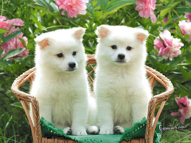 White Cute Dogs