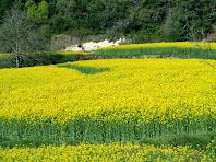 Camps de colza florits dels Plans de Noguereda