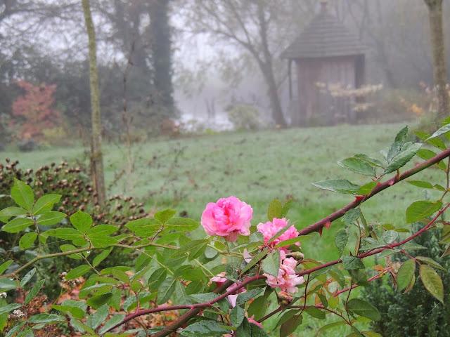 rose cornelia
