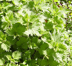 Spring nettles