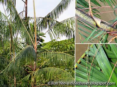 Rotan Bakau (Calamus erinaceus)
