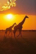 Châu Phi: Hoang Mạc Kalahari - Africa: Kalahari