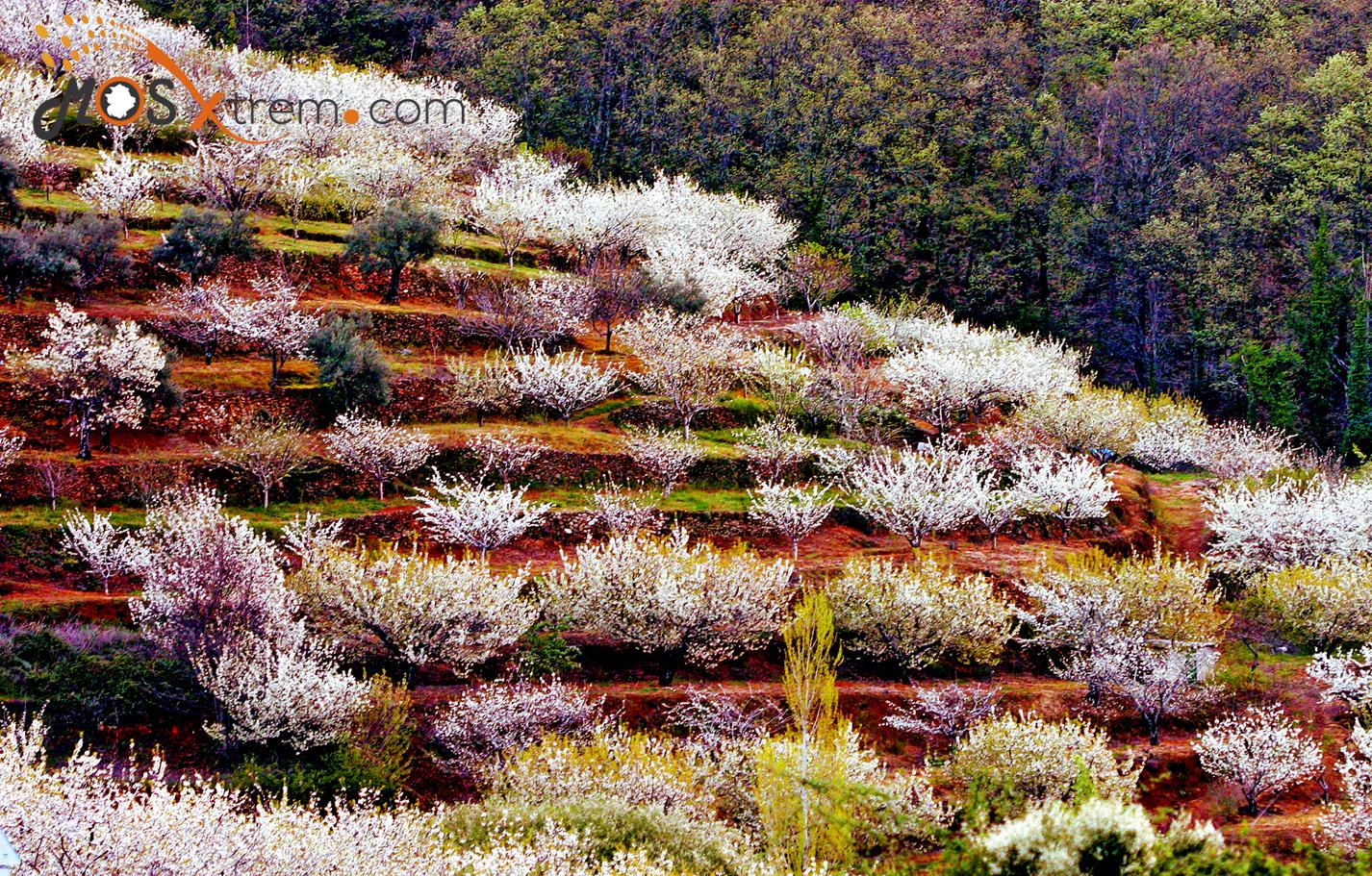 floracion-cerezo-jerte-caceres