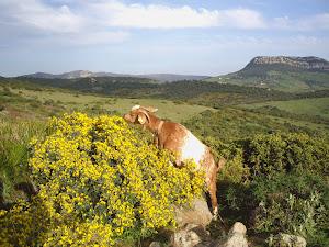 Queso de cabra Payoya en pastoreo