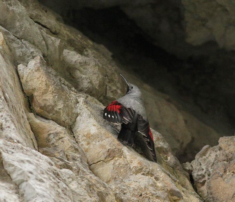 Wallcreeper photography, copyright Iordan Hristov