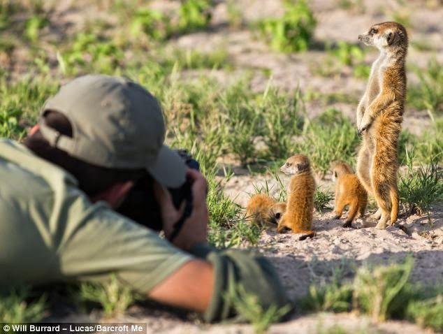 fotografiando suricatas