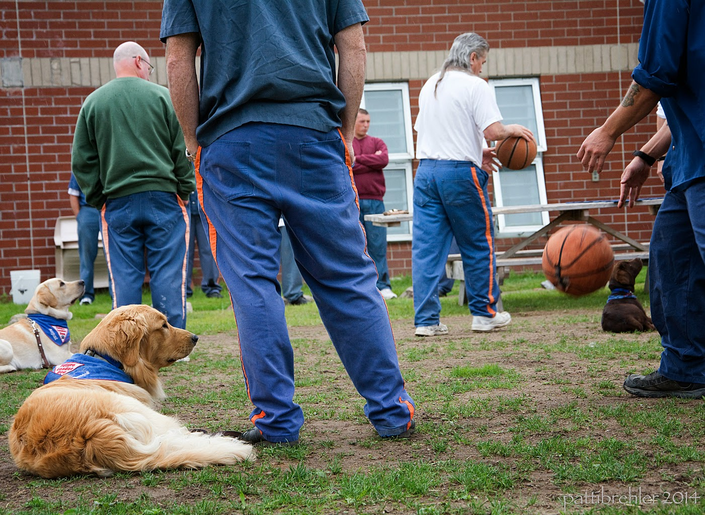 An outside shot of the prison puppy raisers demonstrating their performance. Two golden retrievers on the left and one chocolate lab on the right are lying down on the grass; two men are visible standing next to the goldens on the left, the nearest one is wearing the blue prison uniform, but his head is out of the frame. The furthest man is wearing the prison blue pants and a green sweatshrit. A man wearing a white t-shirt and prison blue pants is bouncing a basketball past the puppies. Another man dressed in the prison blue uniform is also bouncing a basketball. In the background is the brick wall of the prison with a couple windows. A man wearing a maroon sweatshirt is in the background.
