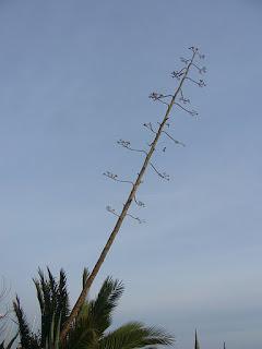 el tallo que sale de los cactus ágaves o pitas