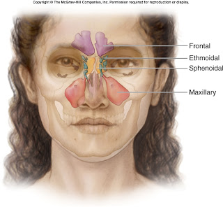 Anatomy of the Paranasal Sinuses | Anatomy Of The Body