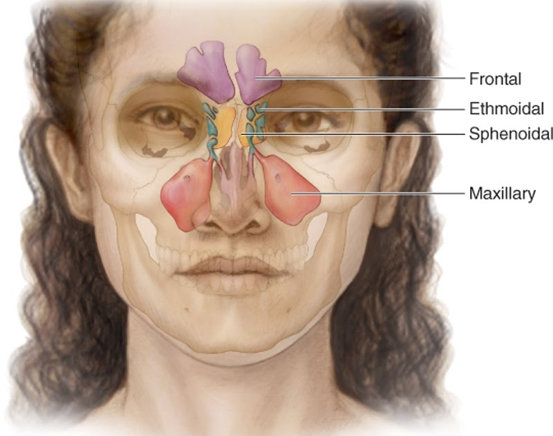 Anatomy Of The Paranasal Sinuses Anatomy Of The Body