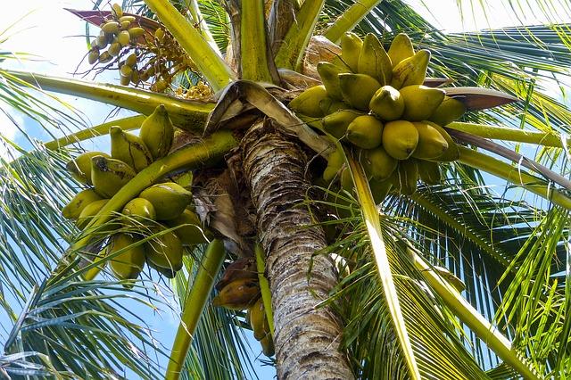 Pohon Kelapa dan Buahnya