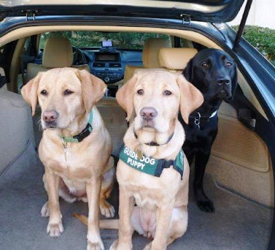 two yellow and one black Lab in car