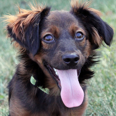 German Shepherd Dachshund Mix Full Grown He is some kind of dachshund
