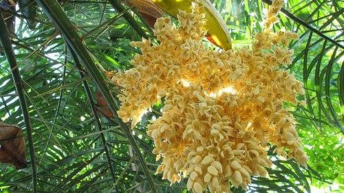 Hoa dừa - Thuyết về cây dừa