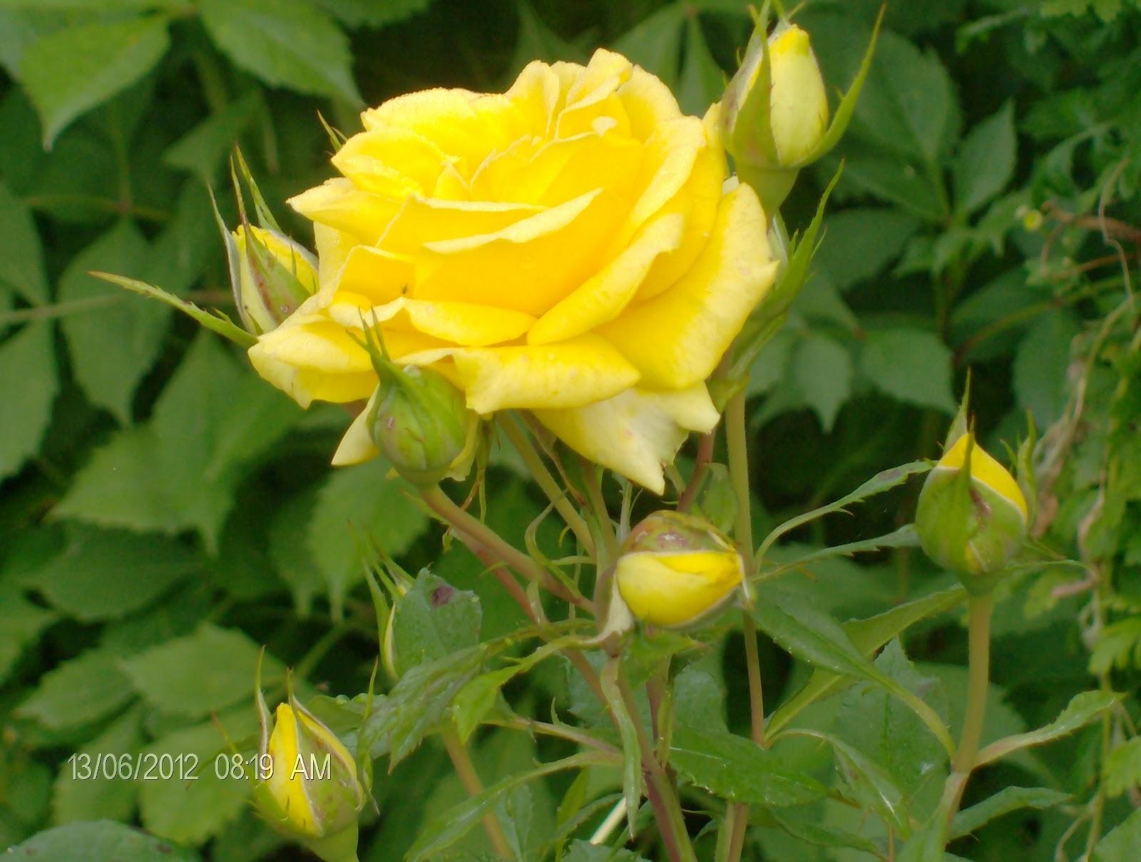cultivo rosas jardim:, as rosas pertencem à familia Rosaceae e ao género Rosa
