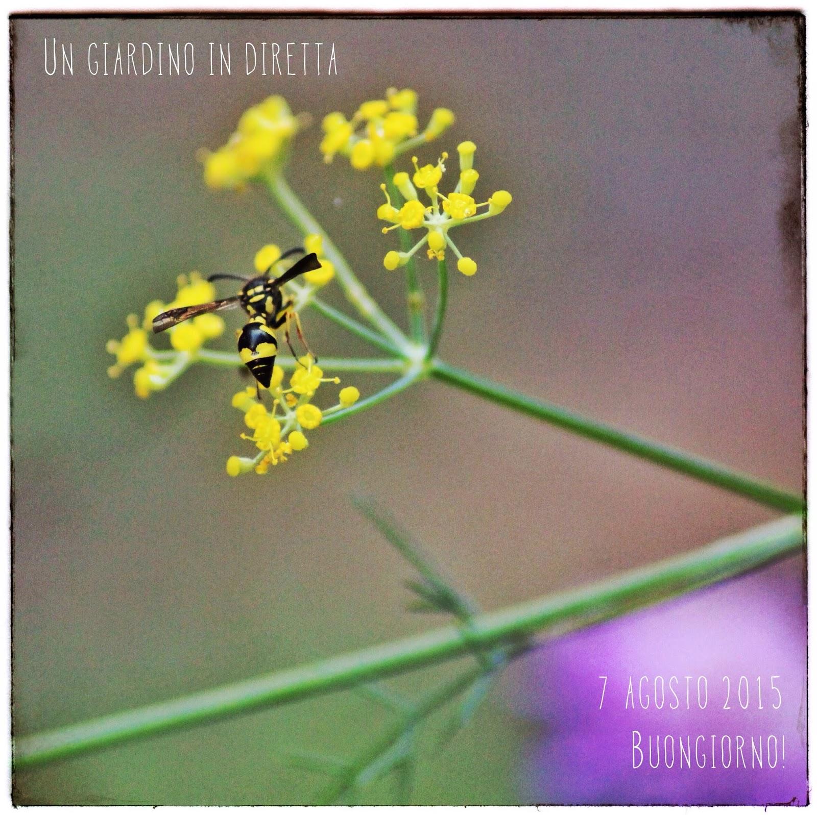 Fiori di agosto finocchio selvatico foeniculum vulgare for Fiori di agosto
