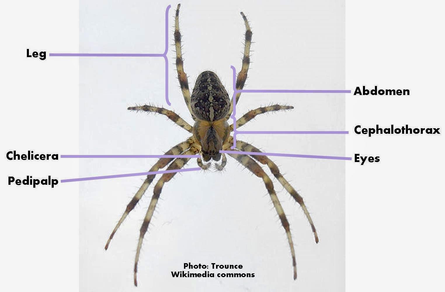 Spider external anatomy