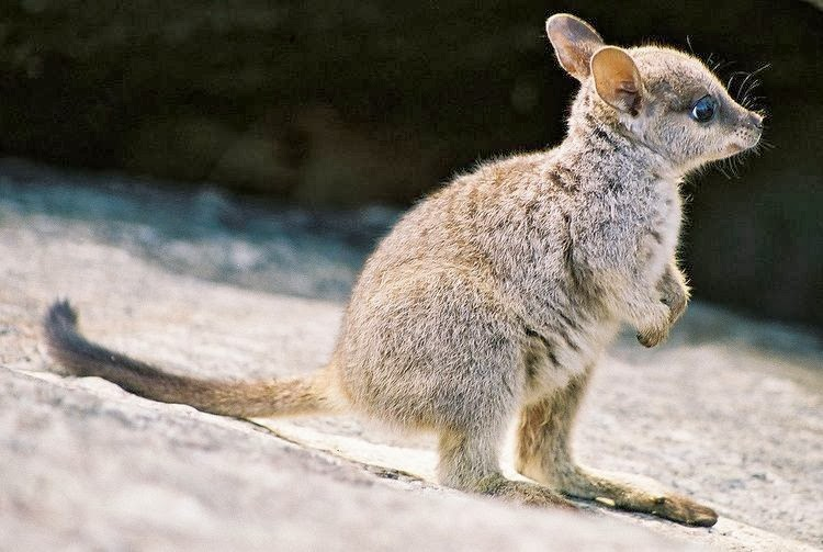 Funny animals of the week - 31 January 2014 (40 pics), cute baby wallaby