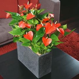 Jardines del teide anturio anthurium la flor del amor for Jardines de anturios