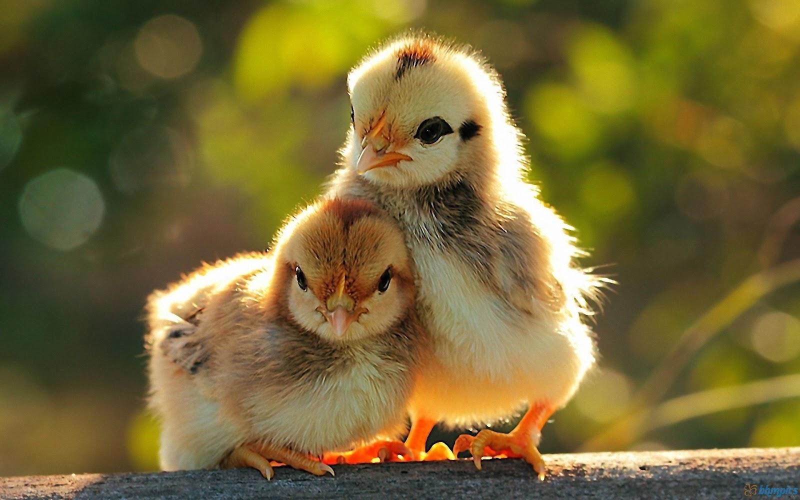http://3.bp.blogspot.com/-PPwsS2nh9m0/UCfvyTC4JkI/AAAAAAAACnI/0-JJdF1Ziv4/s1600/two_chickens_baby-1920x1200.jpg