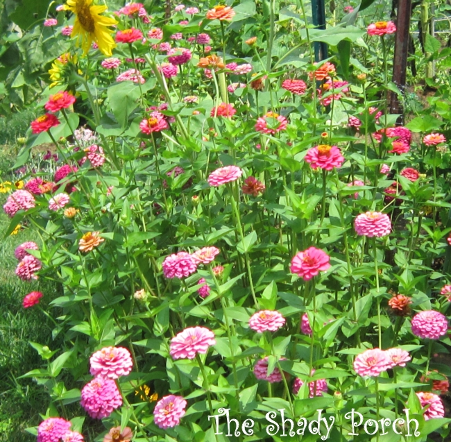 #zinnas #flowers #garden