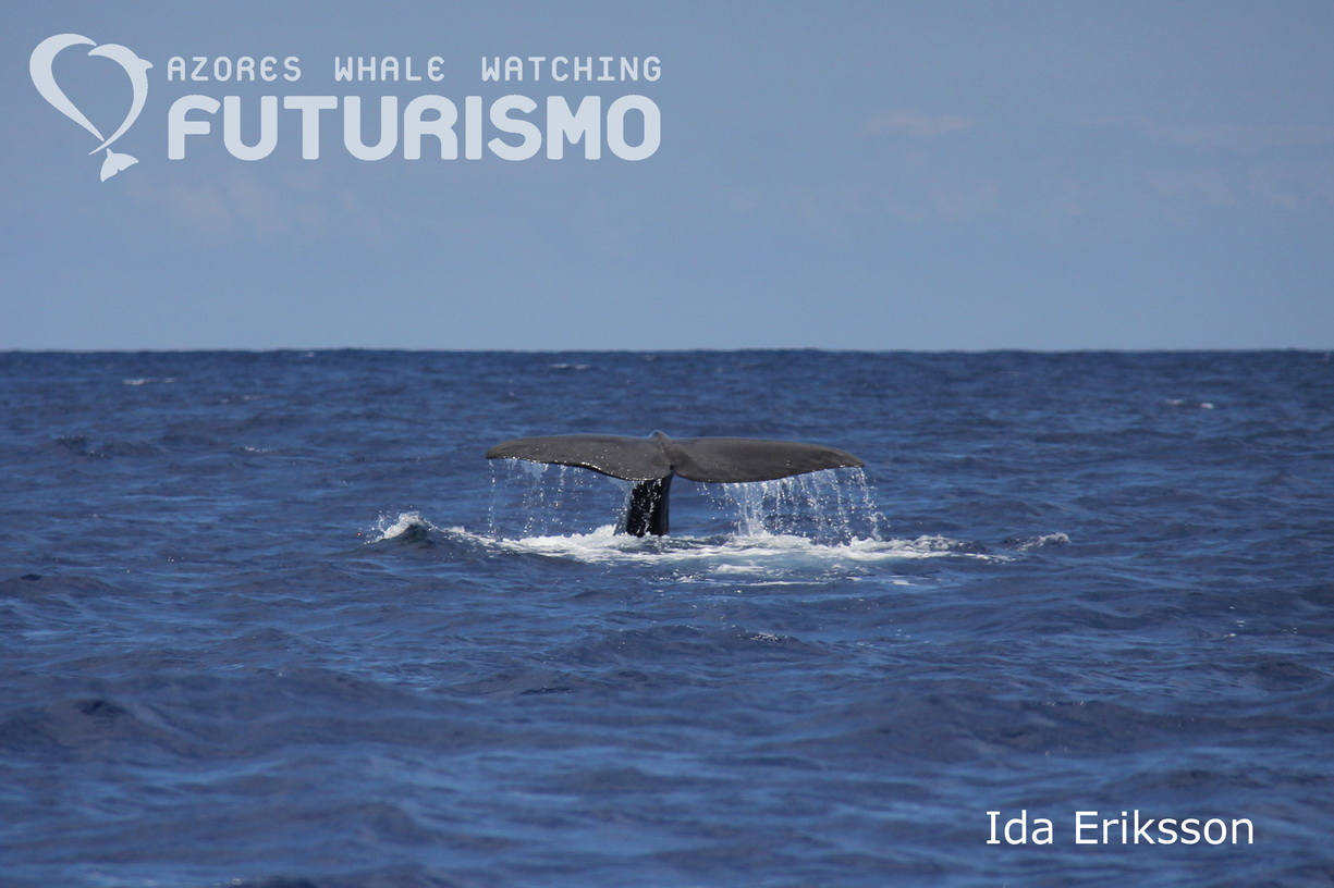 A lot of sperm whale pictures