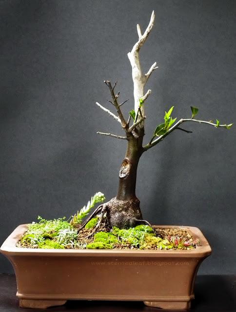 Laurus Nobilis bonsai (Bay Laurel)with jin and uro