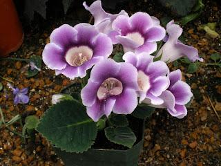 bibit-bunga-gloxinia.jpg