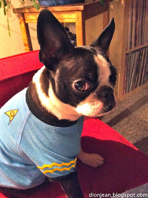 Sinead the Boston terrier models her Star Trek shirt