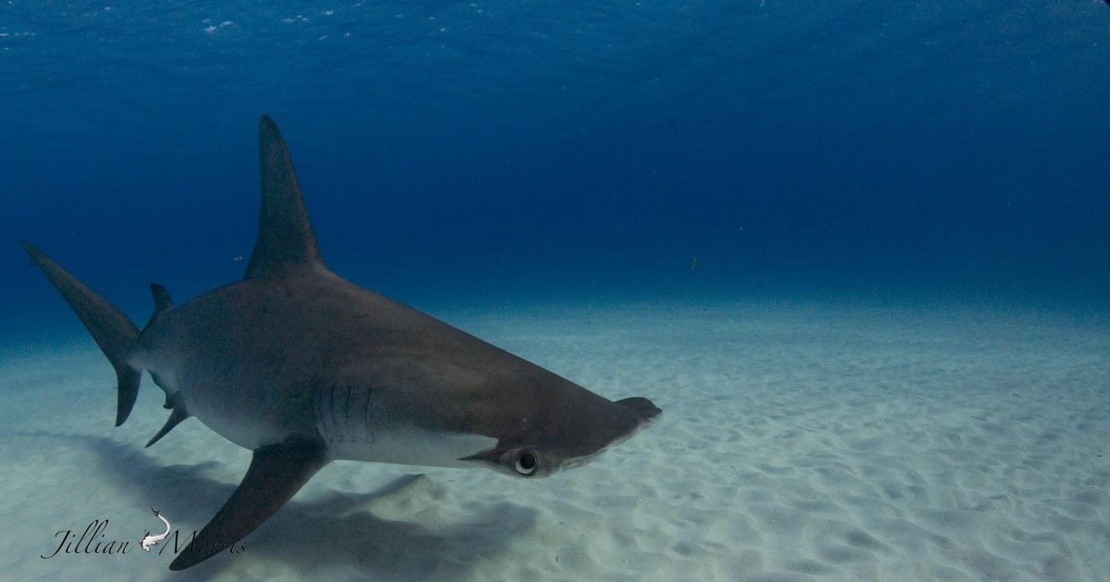 the adventures of shark great hammerhead shark diving