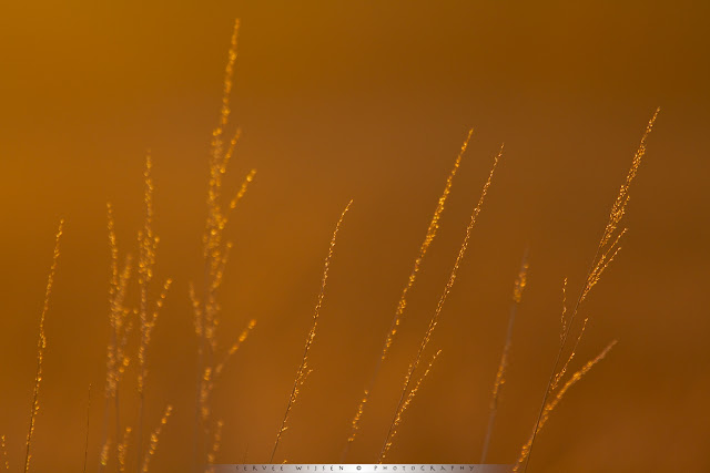 gras in tegenlicht - backlit grass