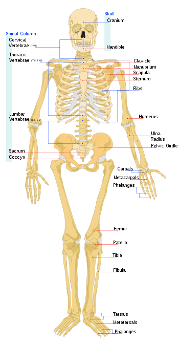 human+skeleton+bones+names