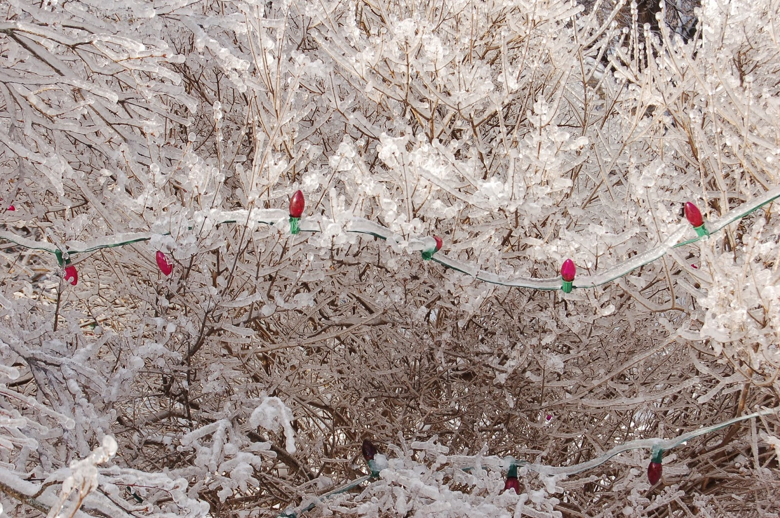 rouge foncé système racinaire la fin de l'été cottage garden plant. 2 Organiques Norfolk sedum