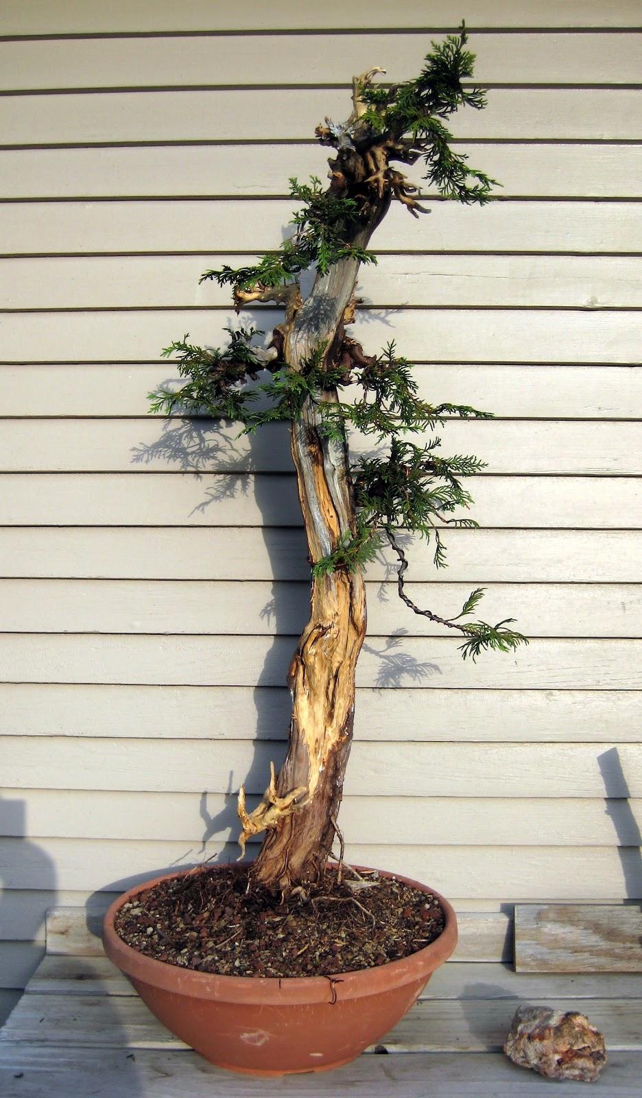 Branch Work Alaskan Yellow Cedar
