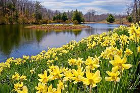 A host of golden daffodils - Wordsworth
