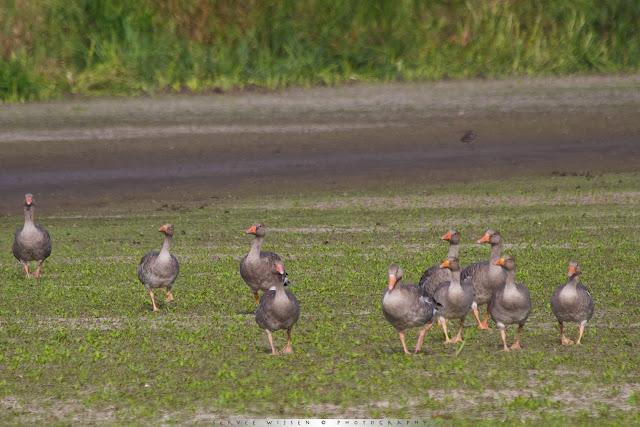 Grauwe Gans - Greylag Goose - Anser anser