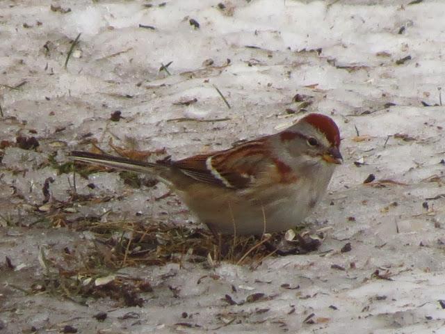 american tree sparrow three