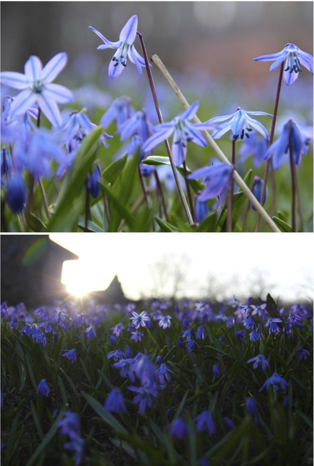 Hey lady grey my favourite little blue spring flowers are back my favourite little blue spring flowers are back mightylinksfo