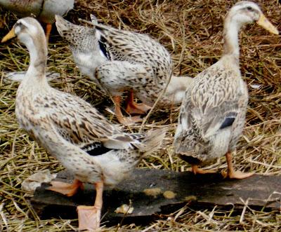 jenis bebek dan itik alabio lokal images | ternak kenari, ternak kambing, ternak bebek, ternak lele, budidaya ikan lele, ikan hias, gambar ikan | UsahaTernak