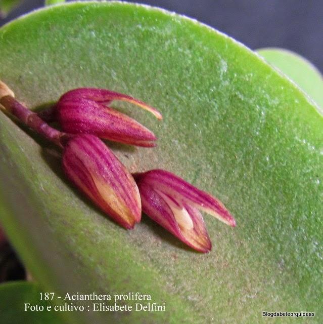 Pleurothallis prolifera