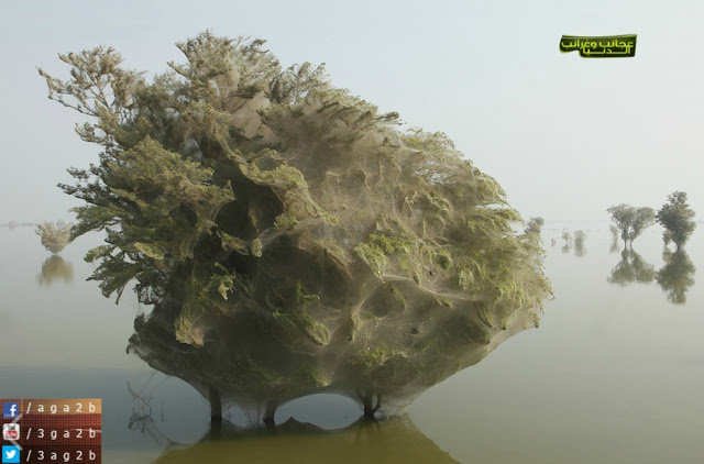 حينما تسكن العناكب الأشجار .. ظاهرة غربية حدثت في باكستان !!