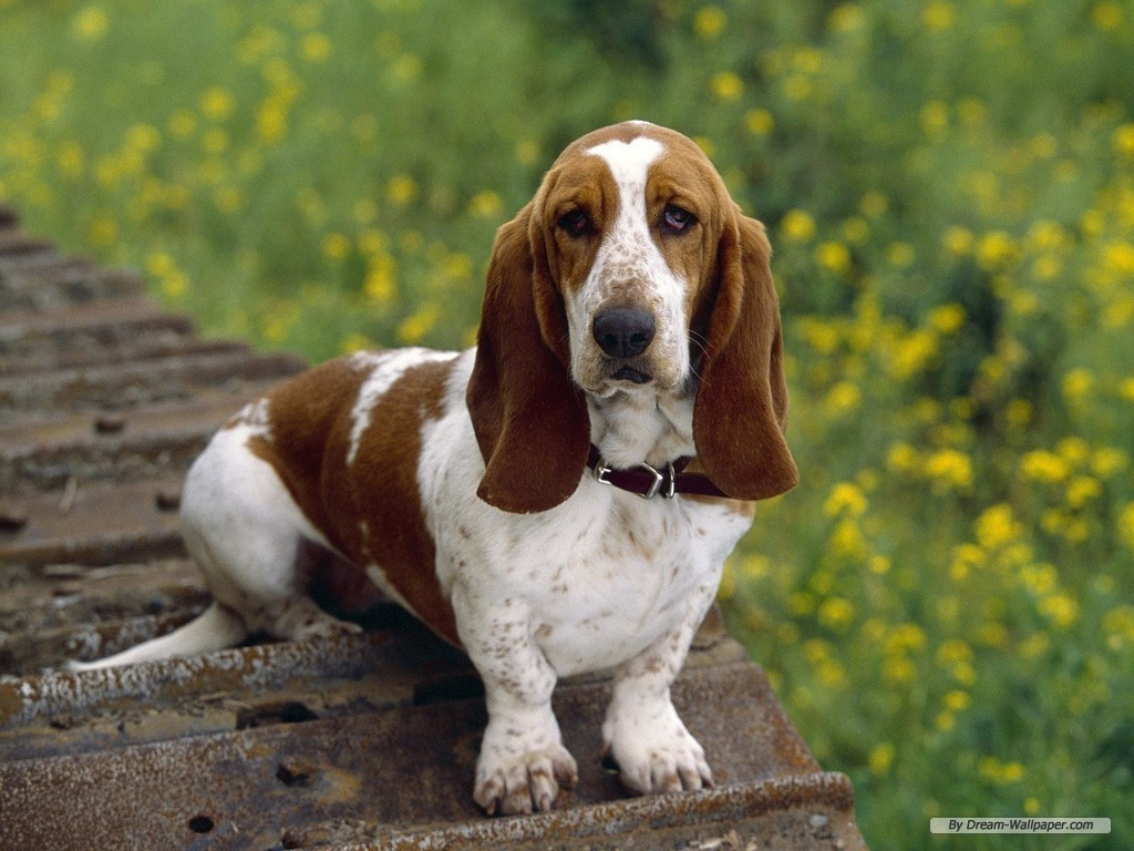 http://3.bp.blogspot.com/-PS4AOKUsjd4/Th8q6PjiUMI/AAAAAAAAAIU/LDGBXNgjU4M/s1600/Basset+Hound+Dogs+Wallpapers+1.jpg