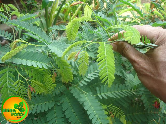 Daun Asam Jawa ( Tamarindus indica ) sebagai penurun kolesterol